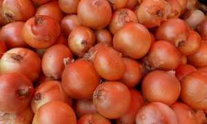 Голландский лук севок