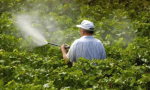 Осенняя обработка винограда против болезней и вредителей