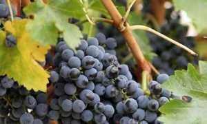Обрезка винограда первый год видео