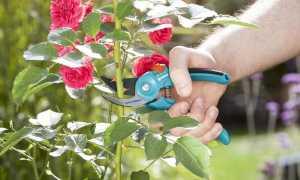Надо ли обрезать розы осенью
