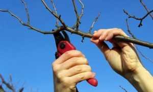 Обрезка абрикосовых деревьев осенью