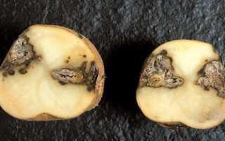 Сухая гниль картофеля как бороться