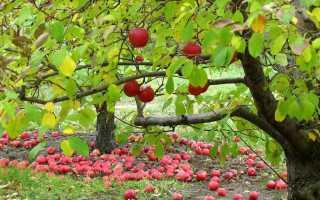 Подкормка плодовых деревьев и кустарников осенью