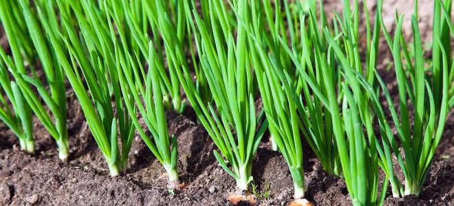 Что посадить после лука на следующий год