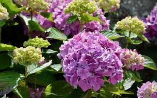 Гортензия когда цветет