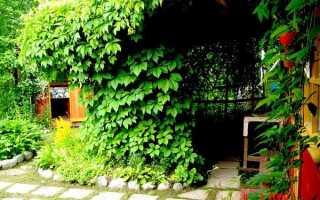 Лиановидные растения для сада
