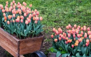 Посадка луковичных весной