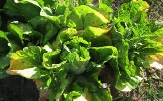 Почему желтеют листья у капусты