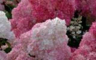 Гортензия метельчатая sundae fraise