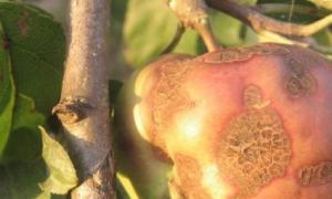 Парша на яблоне что делать