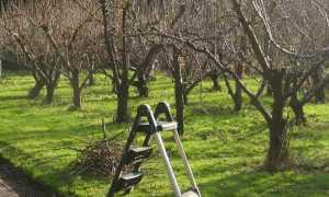 Как правильно обрезать деревья осенью схема