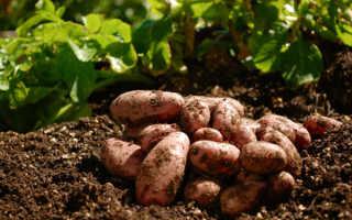 Что посадить после картошки на следующий год