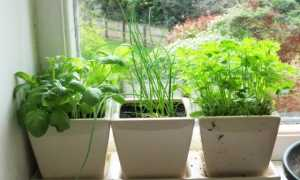 Зелень на окне выращивание зимой