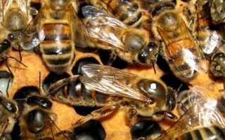 Замена маток в семьях пчел: различные способы