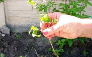 Размножение клематисов черенками осенью