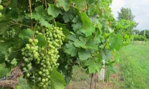 Посадка винограда на урале весной видео