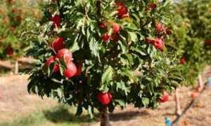 Плодовые деревья на карликовом подвое
