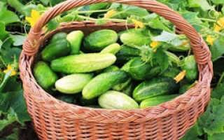 Как получить хороший урожай огурцов