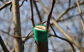 Когда лучше делать прививку деревьев