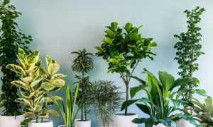 Почему засыхают кончики листьев у комнатных растений