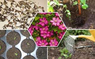 Клематис семенами выращивание