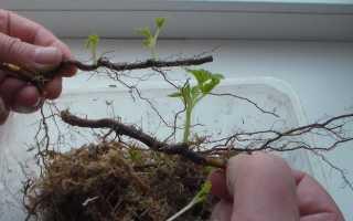 Как быстро размножить малину