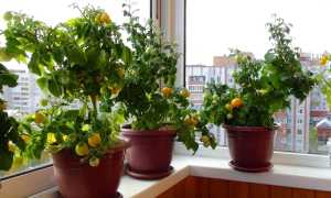 Балконные помидоры выращивание размер горшка
