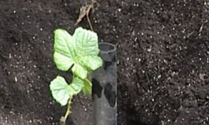 Сроки посадки винограда осенью