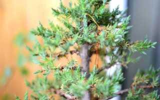 Садовый бонсай из можжевельника