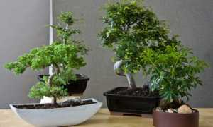 Бонсай комнатное растение