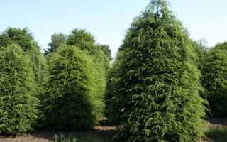 Хвойное дерево тсуга