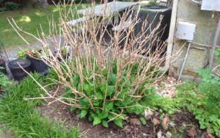 Подкормка гортензии весной
