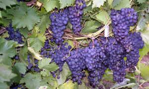 Обрезка винограда первого года осенью