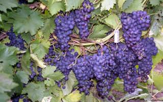Обрезка молодого винограда осенью для новичков