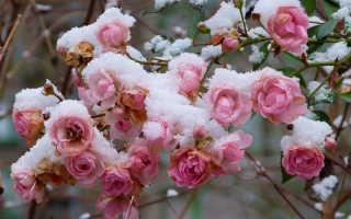 Как накрывать розы на зиму