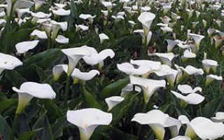 Когда цветут каллы