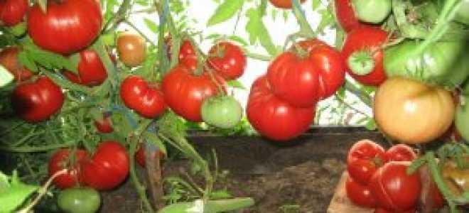 Кулик алексей иванович каталог томатов