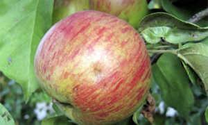 Свит 16 яблоня