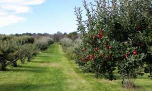 Время посадки яблонь осенью
