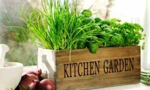 Вырастить зелень на подоконнике зимой