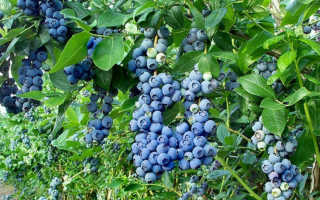 Как ухаживать за голубикой садовой
