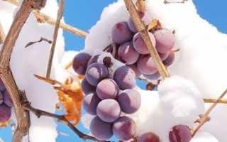 Как укрывать виноград на зиму в подмосковье