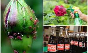 Как бороться с тлёй на розах