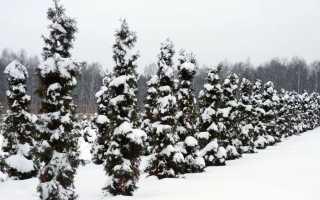 Как сохранить туи зимой в горшках