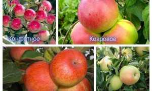 Уход за карликовыми яблонями
