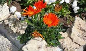 Растения для альпийских горок многолетние