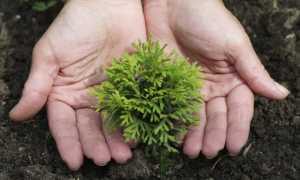 Размножение хвойных растений