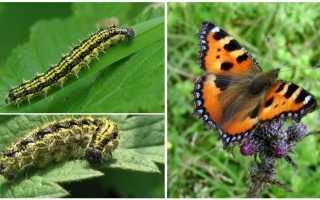 Гусеница насекомое или нет и почему