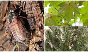 Чем питаются майские жуки в домашних условиях