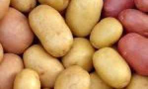 Хранение семенного картофеля в домашних условиях